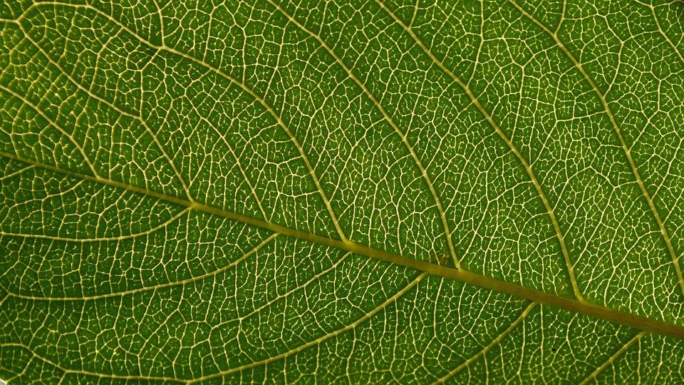 Leaf, Backlit, Green, Flora, Foliage, Macro