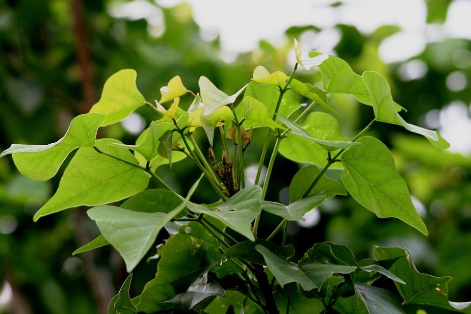 Foliage, Leaves, Heart Shaped, Green, Clump, Light