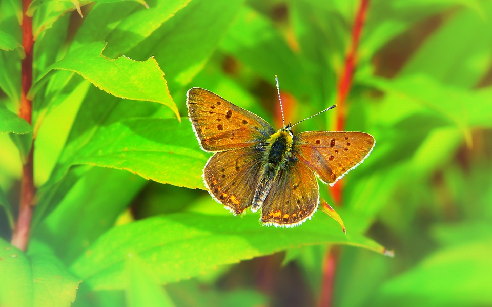 Czerwończyk Uroczek, Insect, Butterfly Day, Foliage