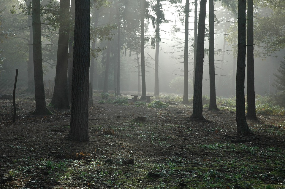 Forest, Woods, Trees, Foggy, Fog, Foliage, Mist, Misty
