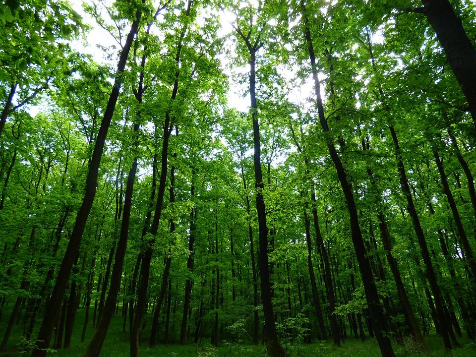 Forest, Trees, Priroda, Foliage