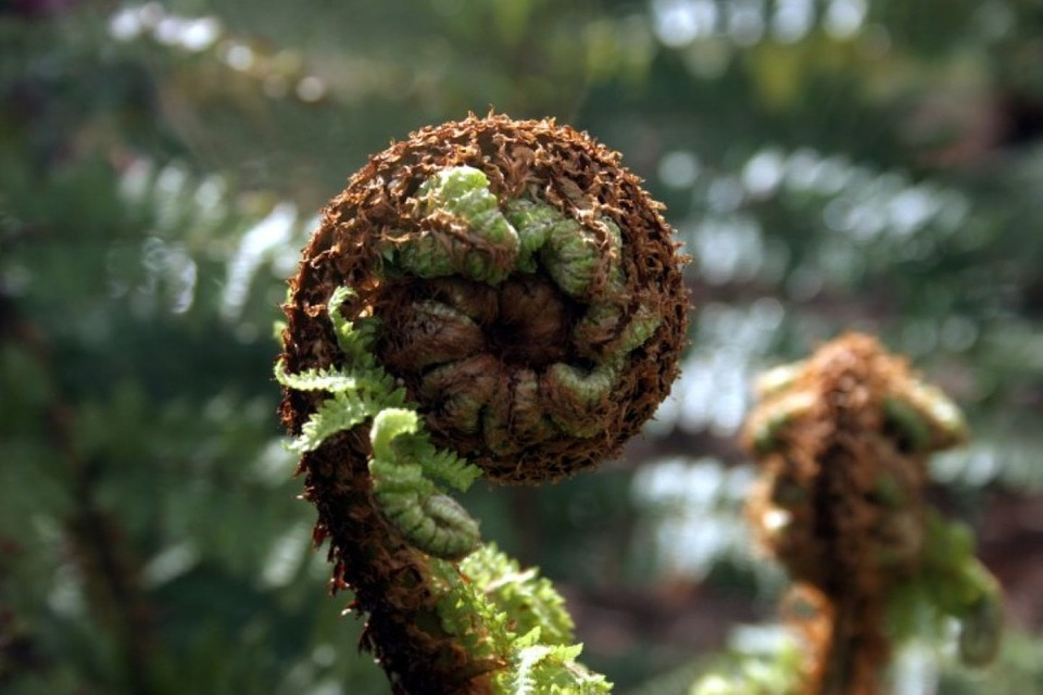 Fern, Frond, Plant, Leaf, Foliage, Growth, Flora