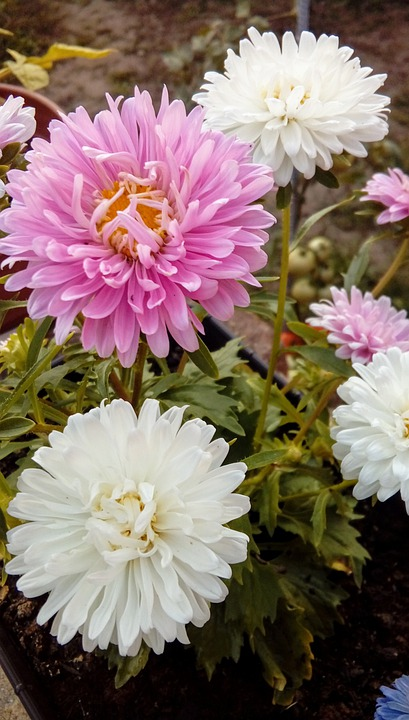Asters, Flowers, Petals, Leaves, Foliage, Garden
