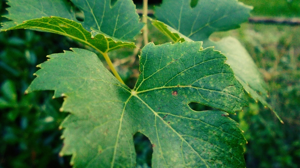 Grape, Foliage, Green, Grape Leaves