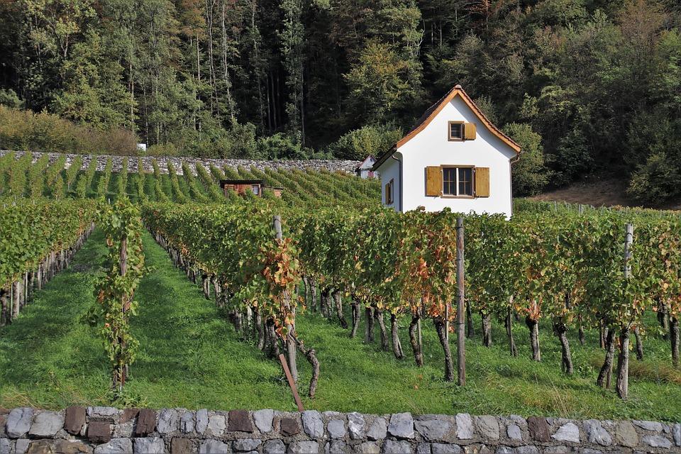 Foliage, Autumn, Vineyard, Grape, The Cultivation Of