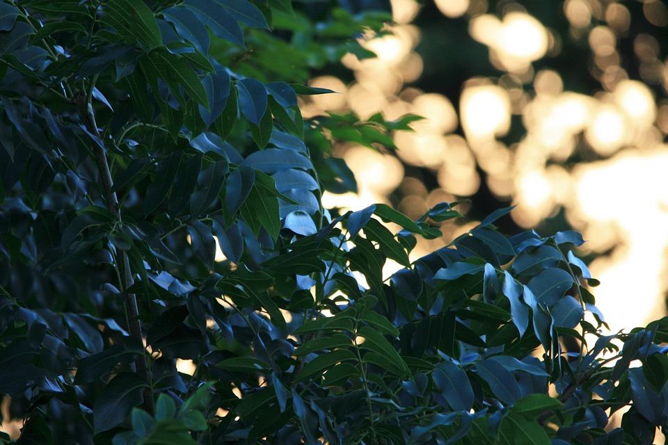 Cape Ash Tree, Tree, Green, Shiny, Cape Ash, Foliage