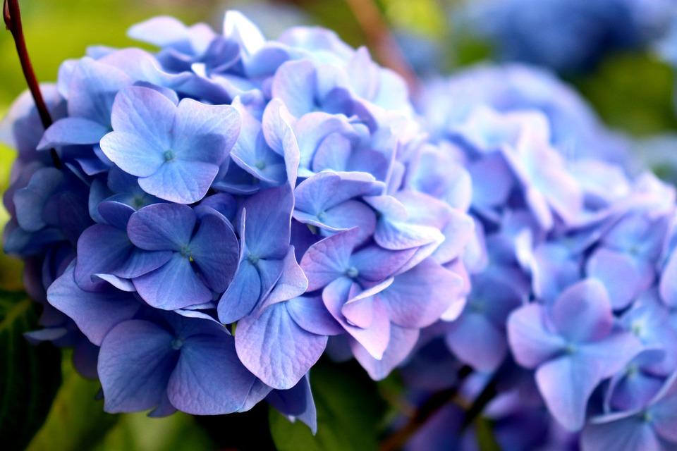 Hydrangea, Flowers, Gardening, Purple, Blue, Foliage