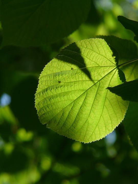 Linde, Lipovina, Foliage, Leaves, Green, Light, Hell