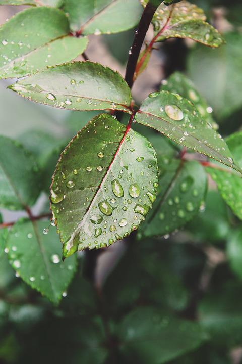 Rose Leaves, Raindrops, Garden, Green, Leaves, Foliage