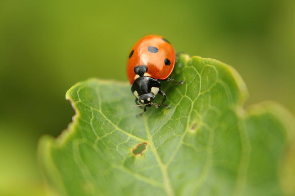 Ladybug, Green, Insect, Red, Macro, Leaf, Foliage