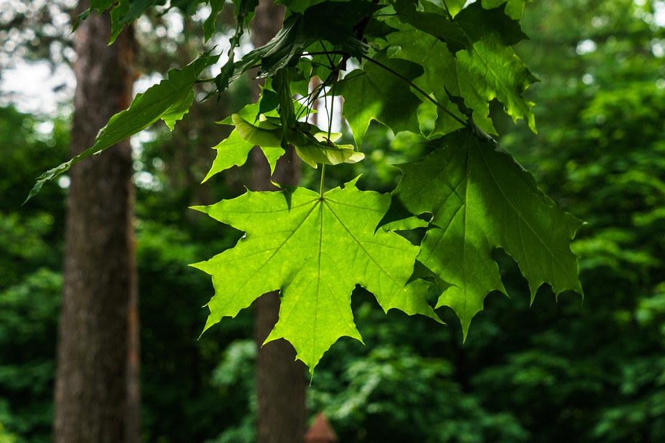 Spring, Maple, Maple Leaf, Foliage, Tree, Outdoors
