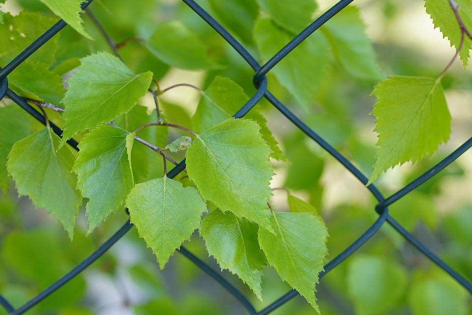 Birch, Leaves, Mesh, Fence, Betula, Foliage, Greenery