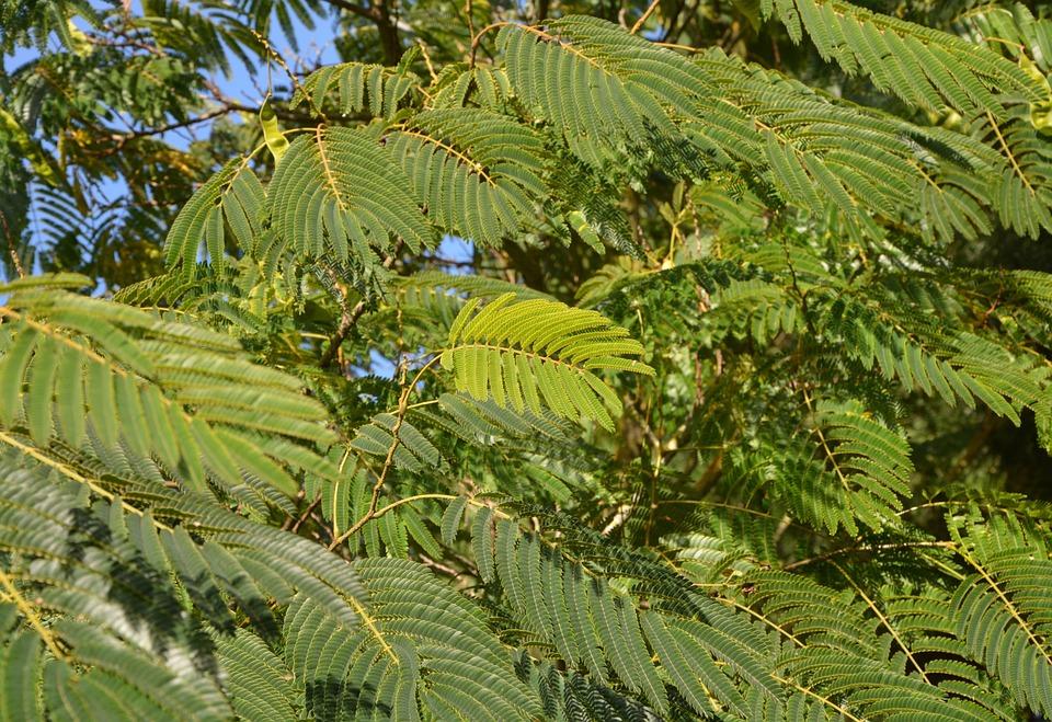Green Foliage, Tree, Ornamental Shrub, Nature, Foliage