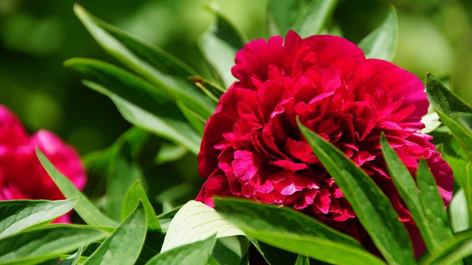 Peony, Flower, Petals, Leaves, Foliage, Sun, Bloom