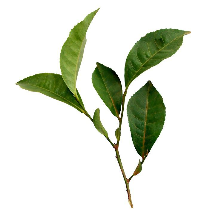 Tea, Leaf, Plant, Nature, Sprig, Foliage