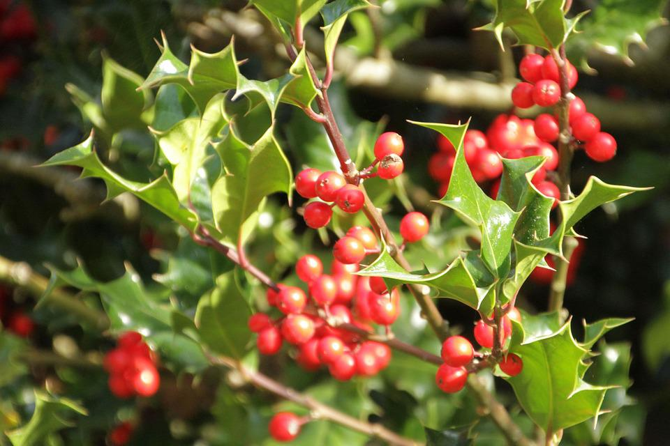 Holly, Red Balls, Leaves, Green, Tree, Nature, Foliage