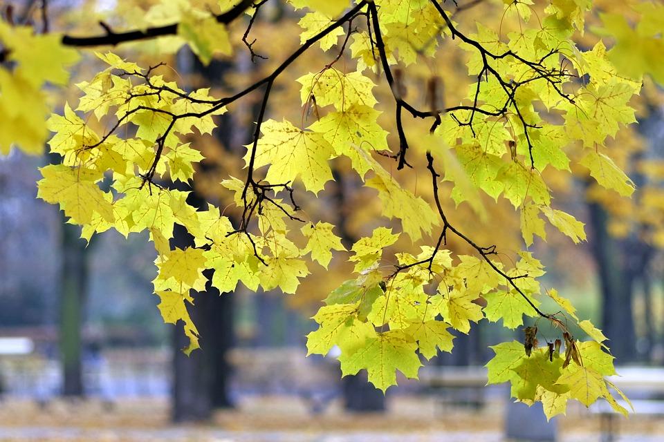 Autumn, Park, Yellow, Foliage, Spacer, Warsaw, Tree