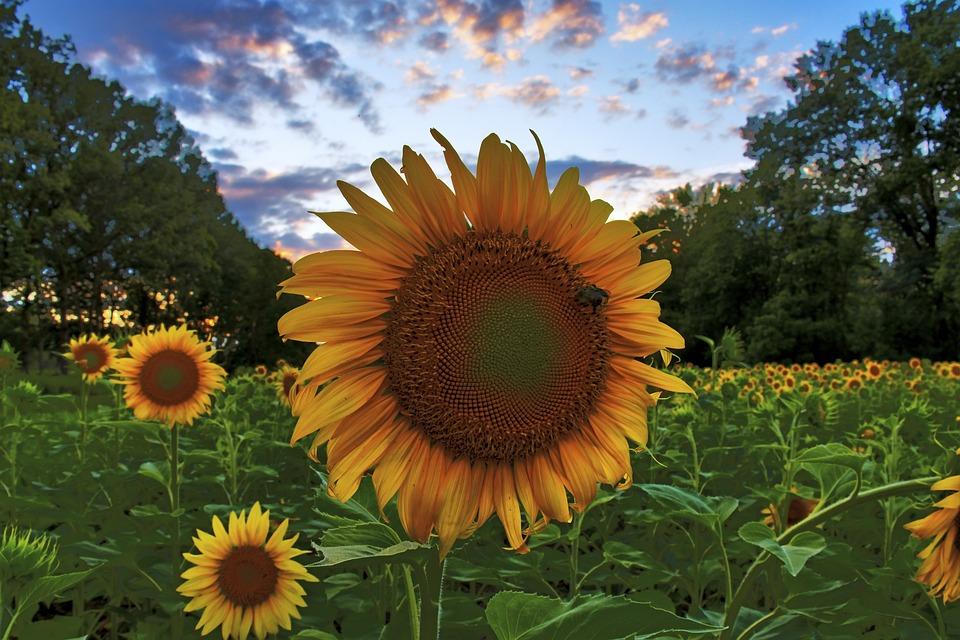 Flowers, Sunflowers, Petals, Leaves, Foliage, Stem