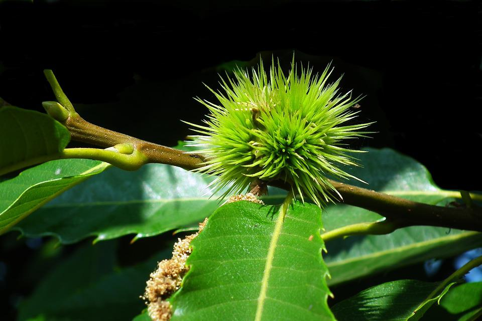Castanea, Fruit, Foliage, Summer, Tree