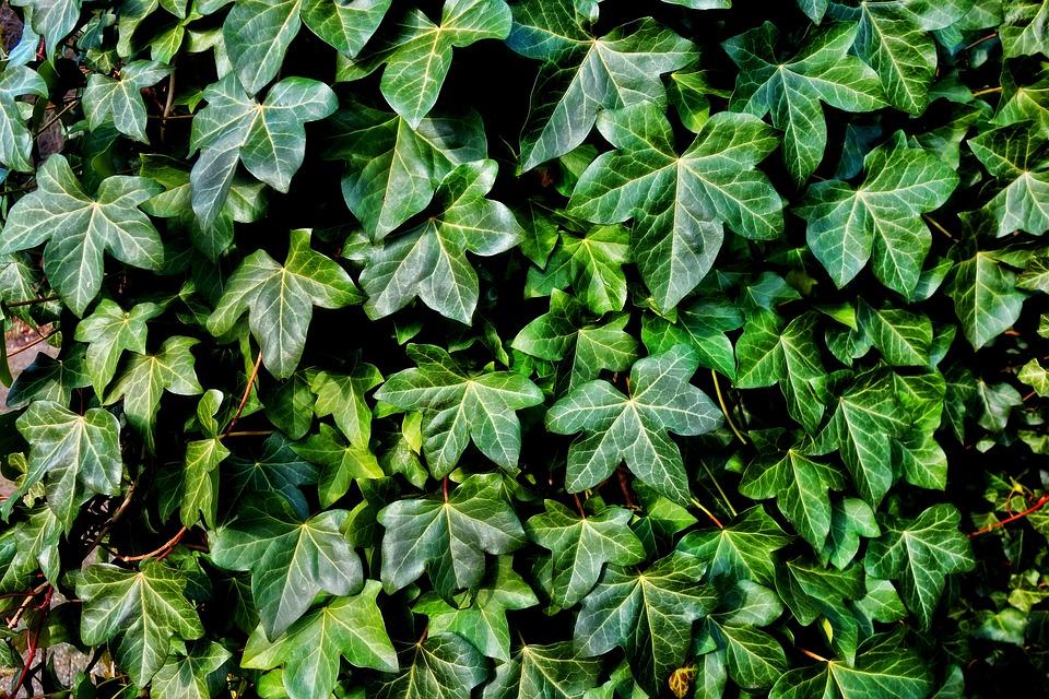 Ivy, Plant, Vine, Creeper, Foliage, Leaves