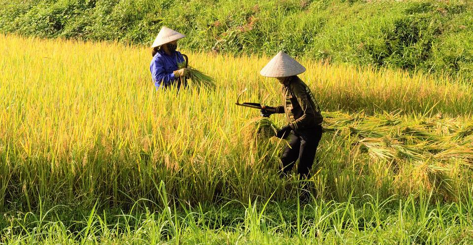 Rice, Silk, Rice Fields, Folk, Natural, Sky, Vietnam