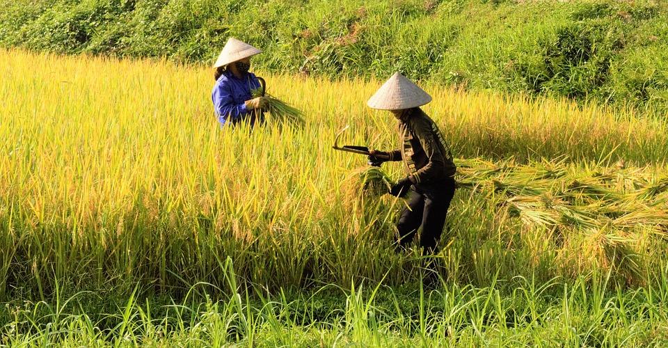 Rice, Silk, Rice Fields, Folk, Sky, Vietnam