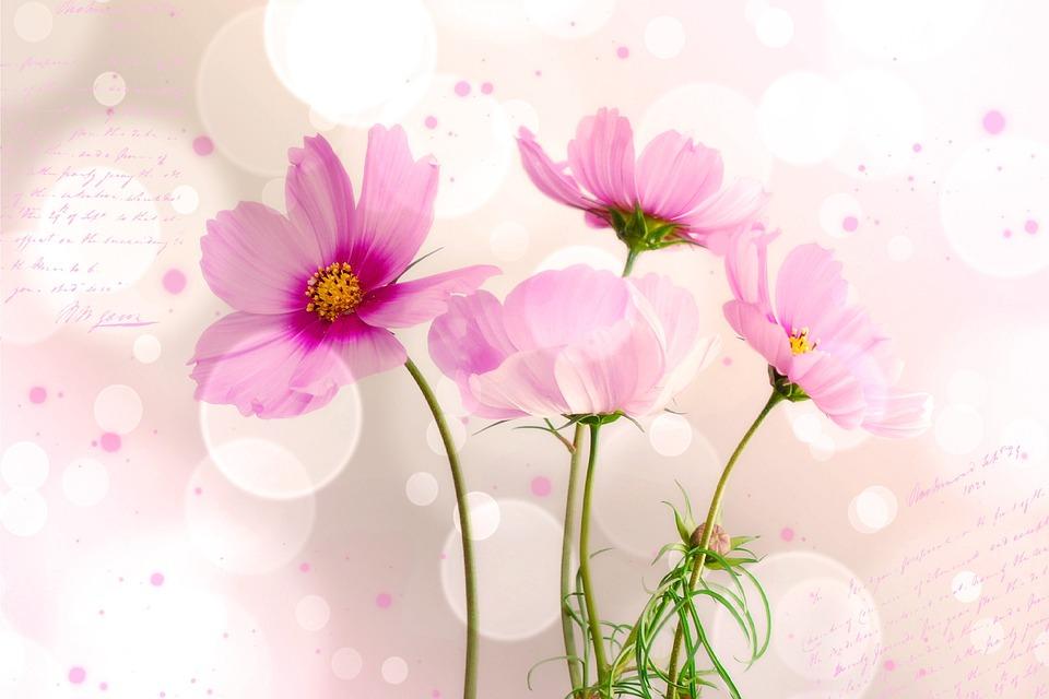 Kosmee, Flower, Flowers, Font
