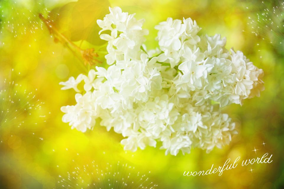 Lilac, White, Blossom, Bloom, Font, Greeting Card