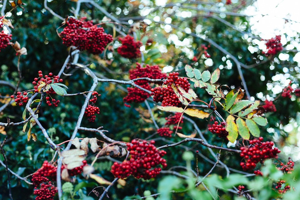Red, Berries, Fruits, Food, Trees, Leaves