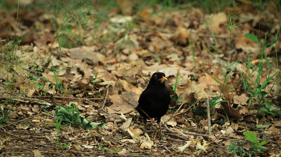 Blackbird, Food, Hunger, Bird, Bill, Feed, Animal, Worm