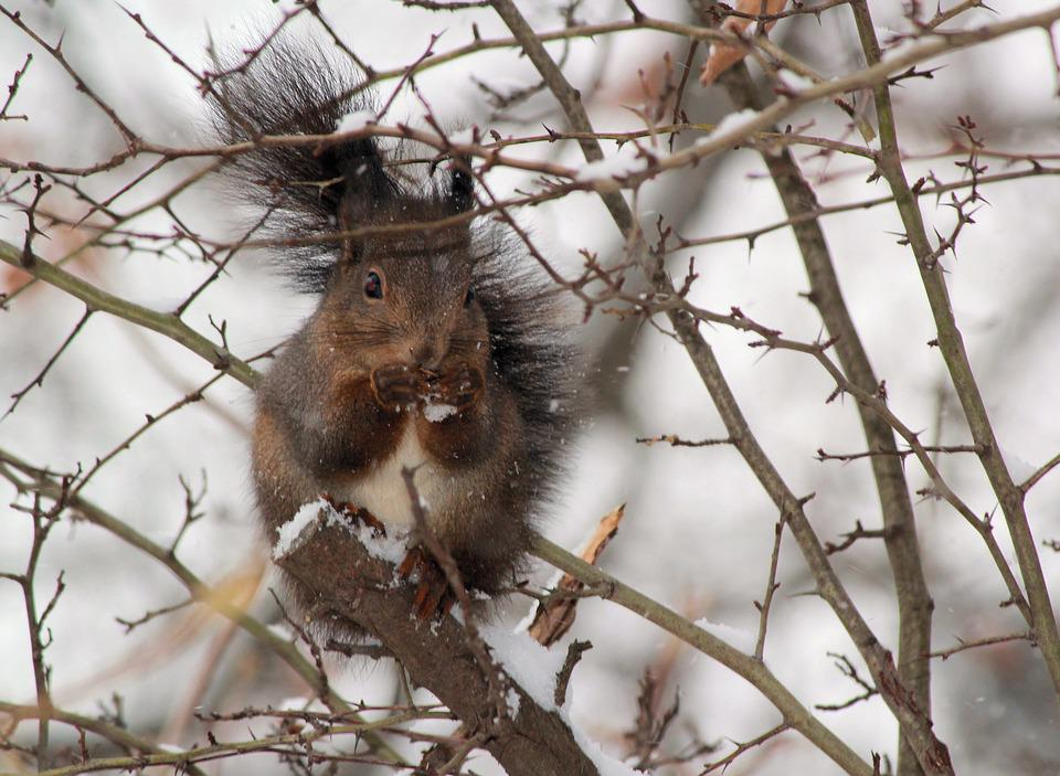 The Squirrel, Winter, Snow, Thorns, Food, Cold, Animal