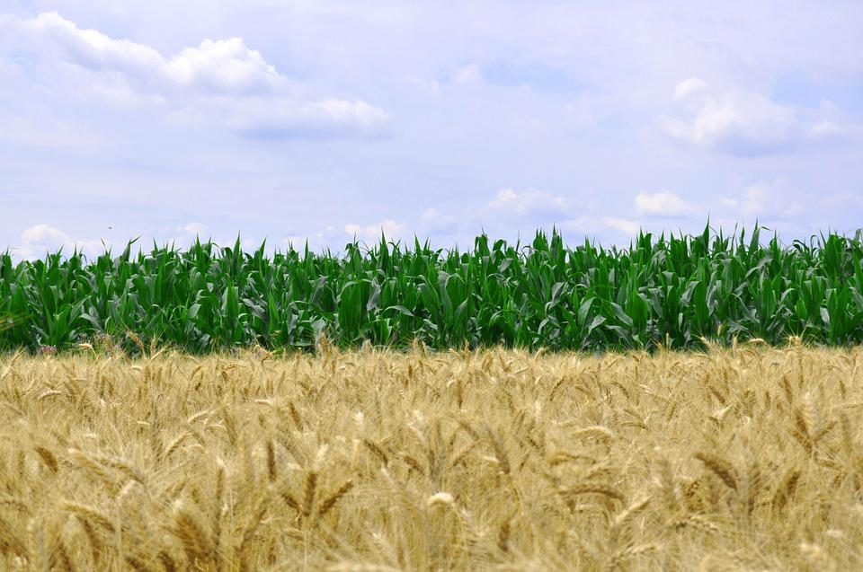 Corn, Wheat, Food, Grain, Agriculture, Harvest, Crop