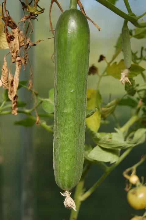 Cucumbers, Vegetables, Cucumber, Food, Dacha