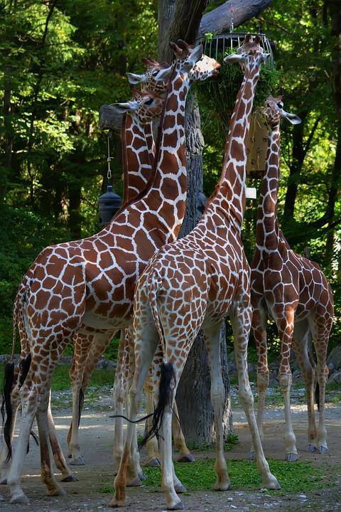 Giraffes, Eating, Zoo, Grass, Food, Feed, Animals