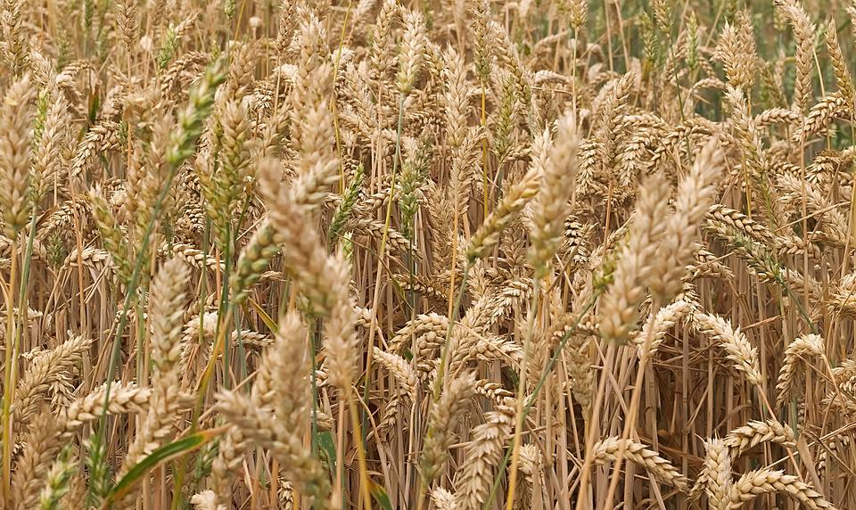 Grain, Cereals, Field, Agriculture, Food, Cornfield