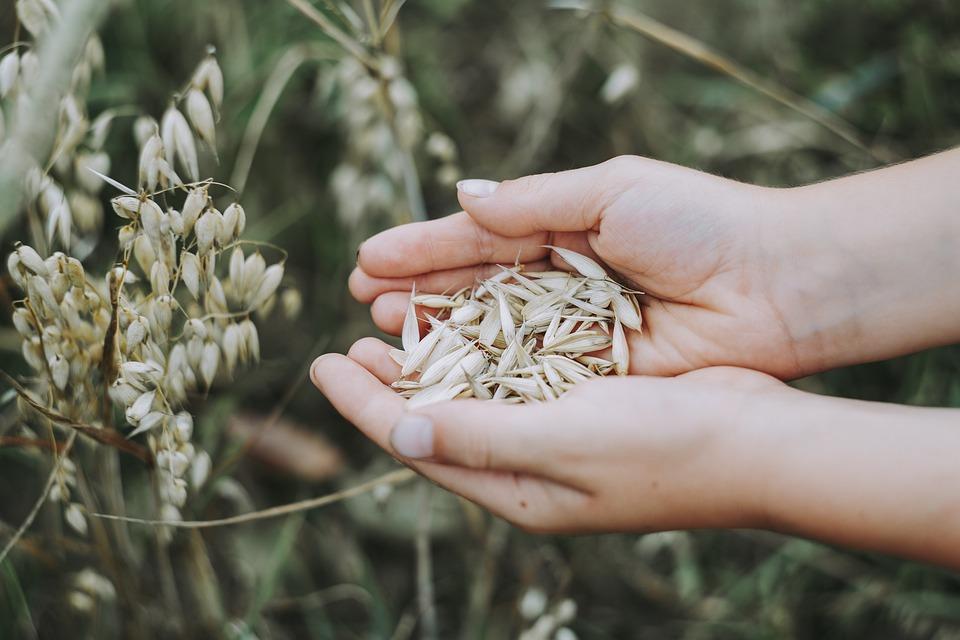 Oats, Cereals, Field, Food, Grain, Healthy, Nutrition