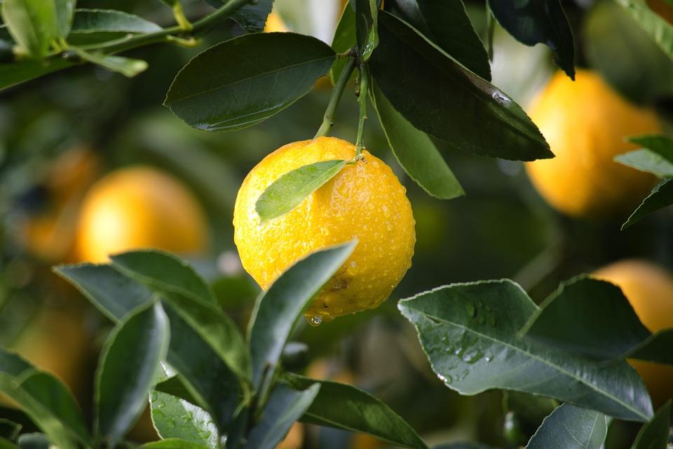 Agriculture, Lemon, Fruit, Citrus, Close-up, Crop, Food