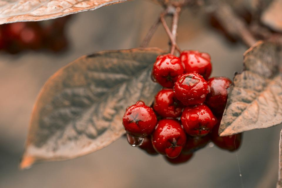Red, Berries, Chokeberry, Fruit, Ripe, Berry, Food