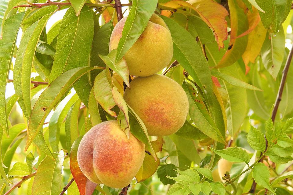Peaches, Peach Tree, Branch, Fruits, Fruit, Food
