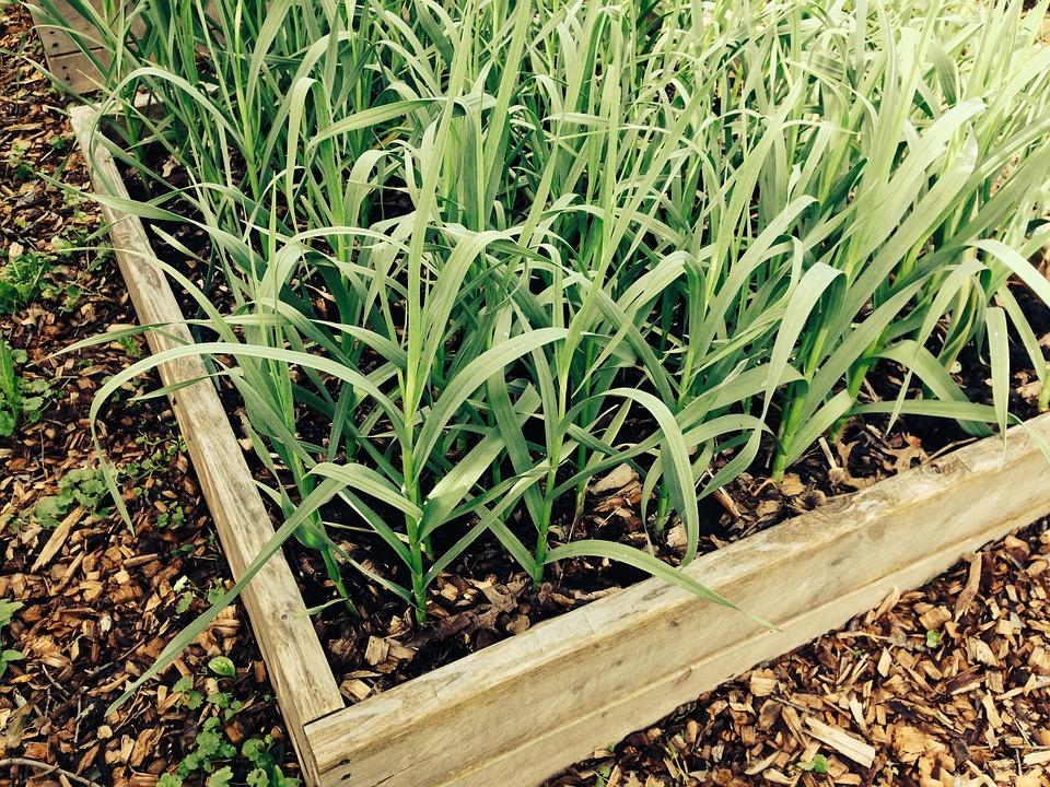 Garlic, Garden, Gardening, Plant, Box, Food, Organic