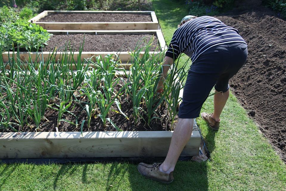 Garlic, Home, Gardening, Vegetables, Fresh, Food