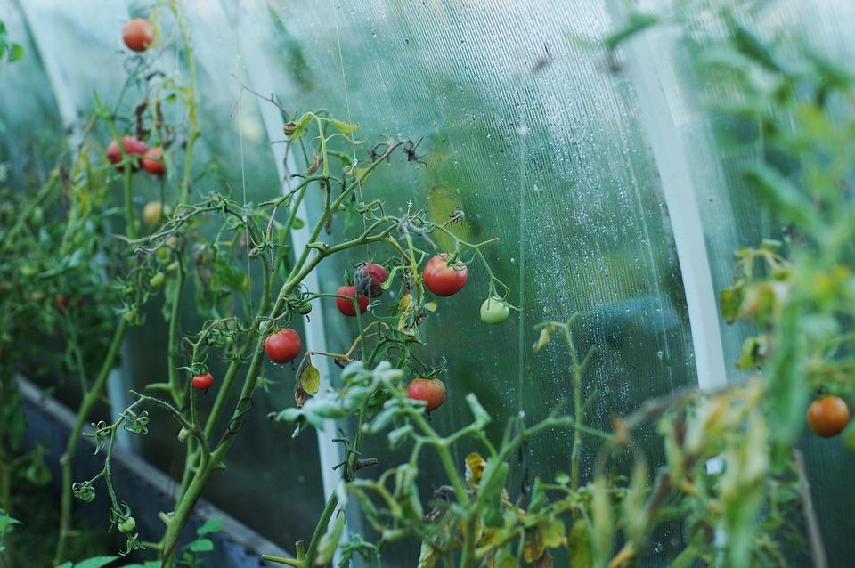 Tomatoes, Greenhouse, Dacha, Tomato, Vegetables, Food