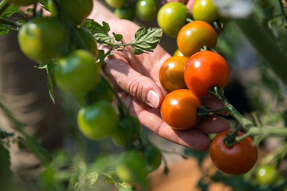 Fruit, Food, Grow, Leaf, Agriculture, Tomato, Crop
