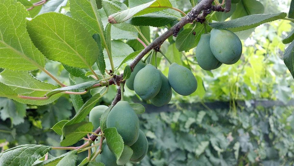 Cluster, Prunes, Fruit, Green, Food, Harvest