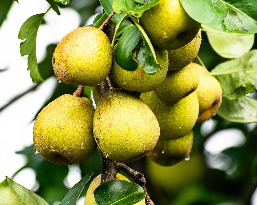 Pear, Fresh, Fruit, Food, Healthy, Nature, Garden