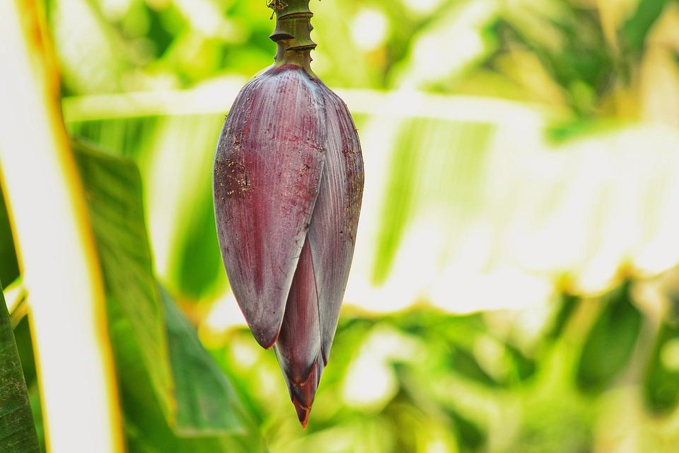 Bud, Banana Fruit, Food, Pink, Nyc, Natural, Landscape
