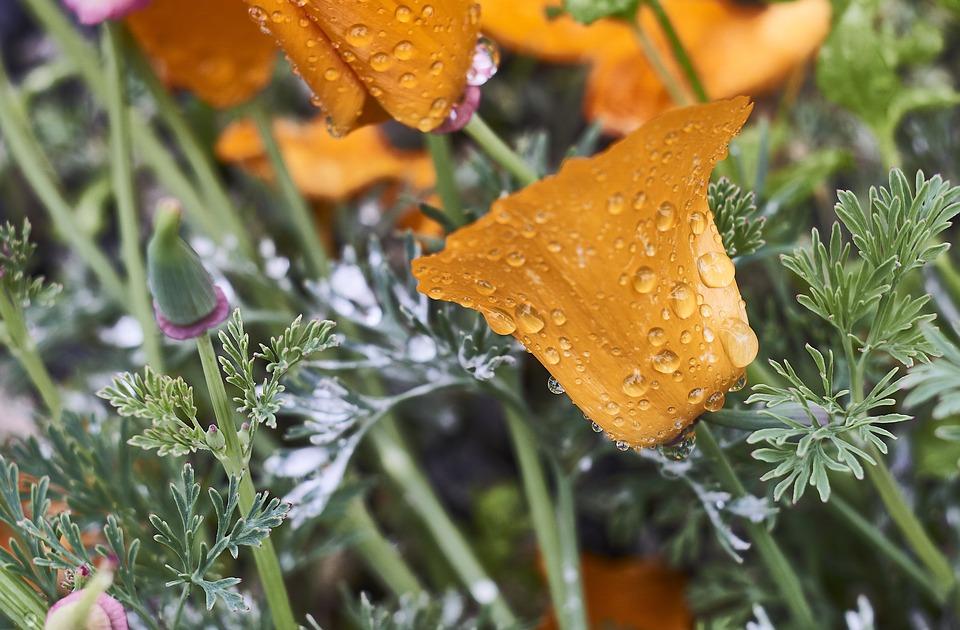 Flora, Nature, Food, Leaf, Flower, Poppy