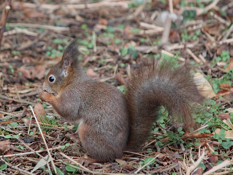 The Squirrel, Rodent, Animal, Mammal, Standing, Food