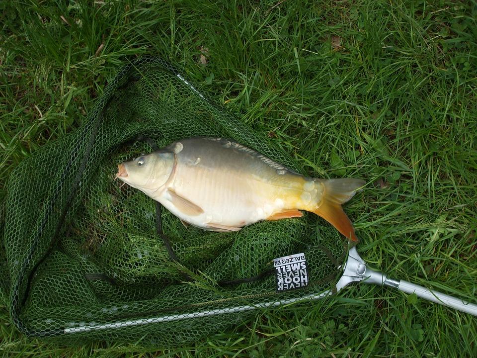 Fish, Carp, Network, Animal, Fishing, Grass, Food