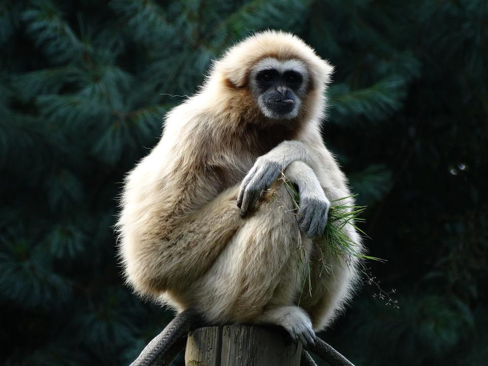 Primate, Gibbon, Lar Gibbon, Food, Relax